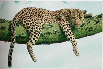 Zwierzęta świata - Lampart