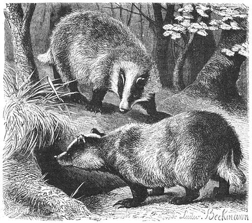 borsuk - srebrna moneta zwierzęta świata: borsuk 2011