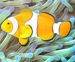 50 c, Rafa koralowa - Błazenek / The reef - Australian sea life - Clownfish, 2010