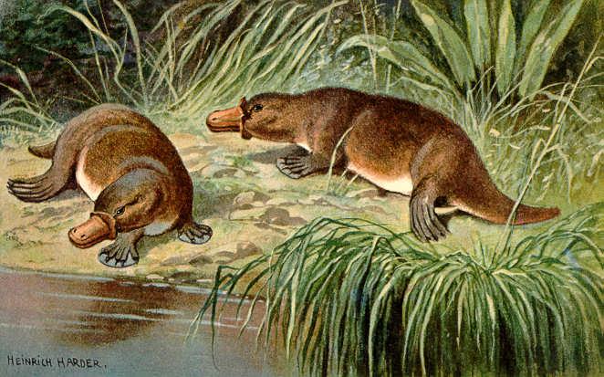 srebrna moneta dziobak / Ornithorhynchus anatinus / platypus