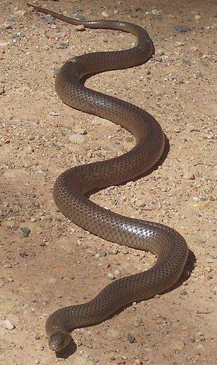 1 dolar, Niebezpieczne zwierzęta świata - Australia's Brown Snake, 2010