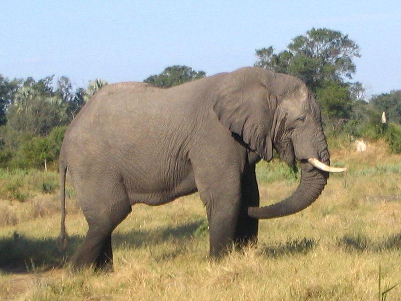 100 sh, Dzikie życie Afryki - Słoń (1 oz), 2009