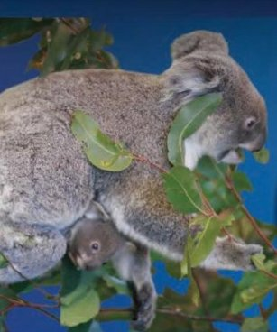 Koala Silver Specimen