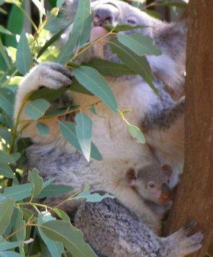 Srebrna moneta lokacyjna Koala