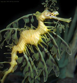 50 c, Rafa koralowa - Australopławikonik / The reef - Australian sea life - Leafy Sea Dragon, 2009