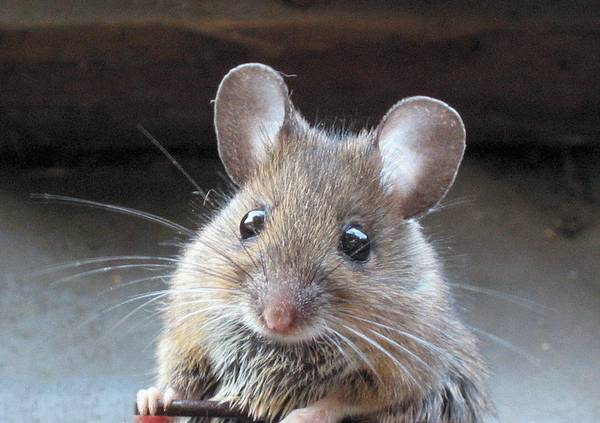 Przyjaźnie nastawiona myszka