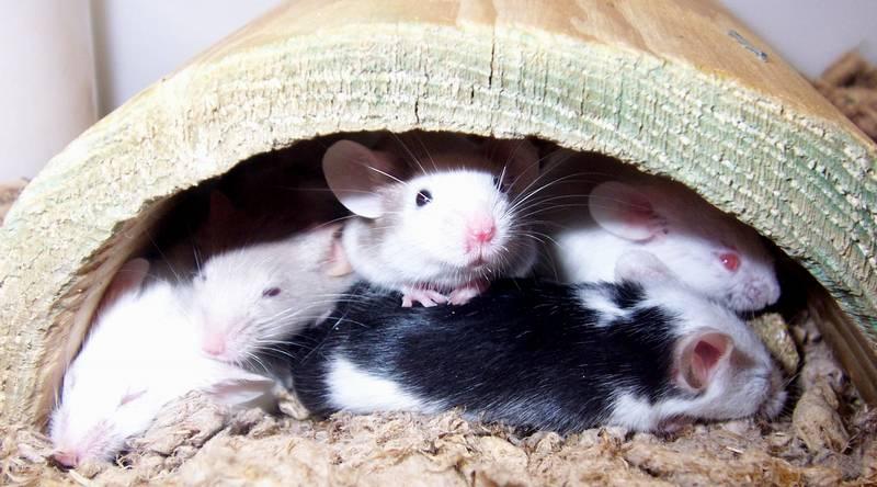 Przyjaźnie nastawione myszki 1 dolar, Kalendarz chiński - Szczur (Rok Szczura 2008), 2007
