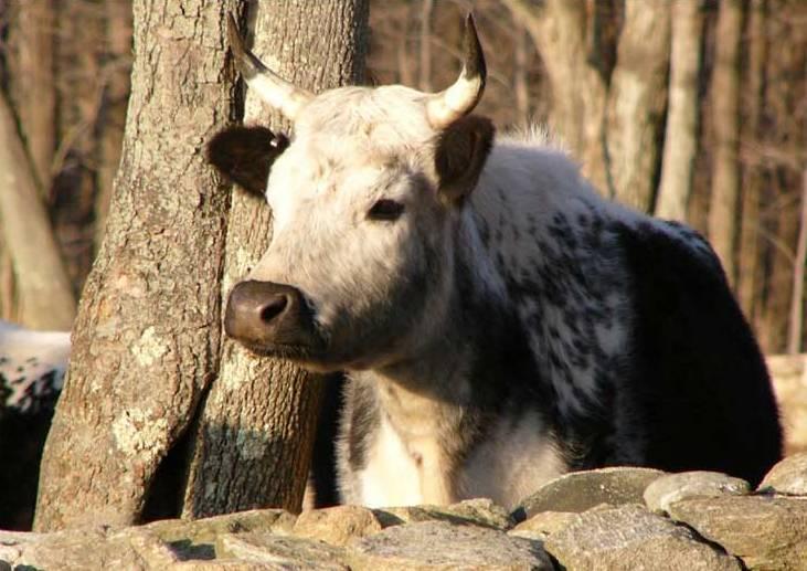 1 dolar, Kalendarz chiński - Rok Bawoła - Byk (Year of the Ox 2009), 2008