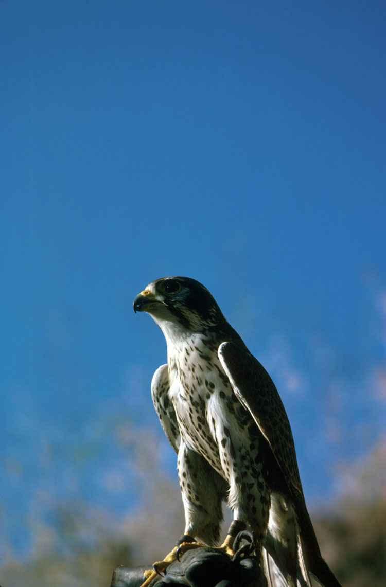 2 zł, Zwierzęta Świata: Sokół wędrowny (łac. Falco peregrinus), 2008