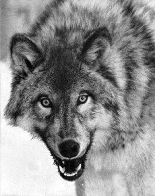 www.numizmatyczny.pl Zwierzęta świata: Wilk (Canis lupus), 2009