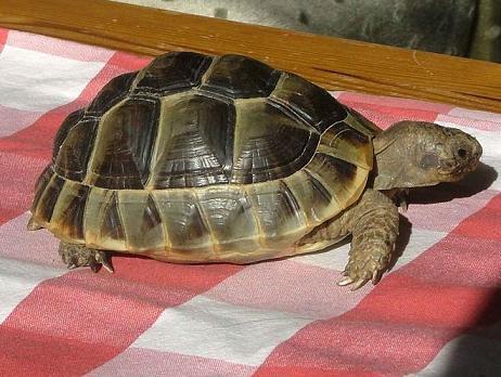żółw śródziemnomorski